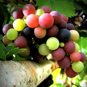 grapes320